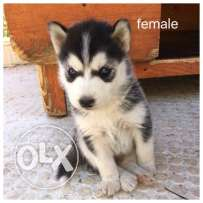 husky puppies for sale female 200/Male300$