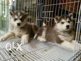 Loung hair king size Siberian husky puppies males and females