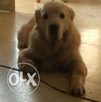 Golden retriever pedigree 7 years old vaccinated.