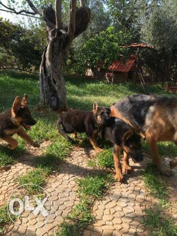 German shepherd . Berger allemand. الكورة -  1