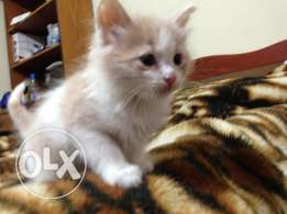 Very nice adorable kittens for sale