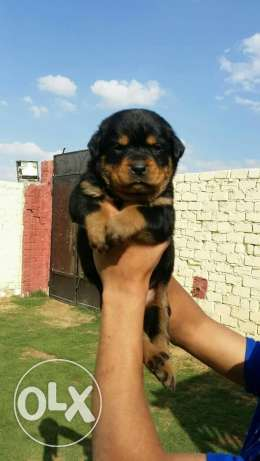 best imported rot pupps