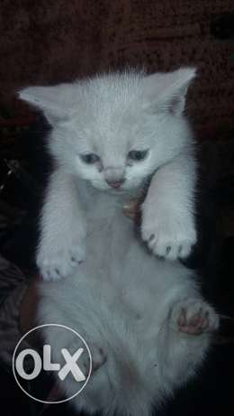Little 2 angora mix &1 angora turkian pure