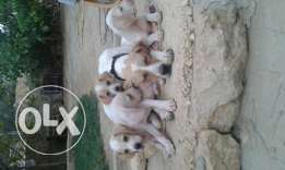 Hunting puppies for sale an a good condition