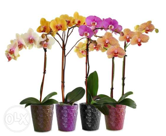 Orchids at only 12000l.l