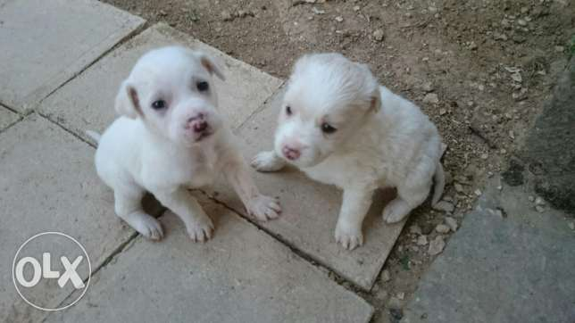 Loulou puppies male and female 3omron shaher