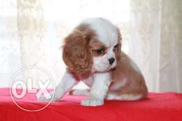 Quality King Charles Cavalier Puppies