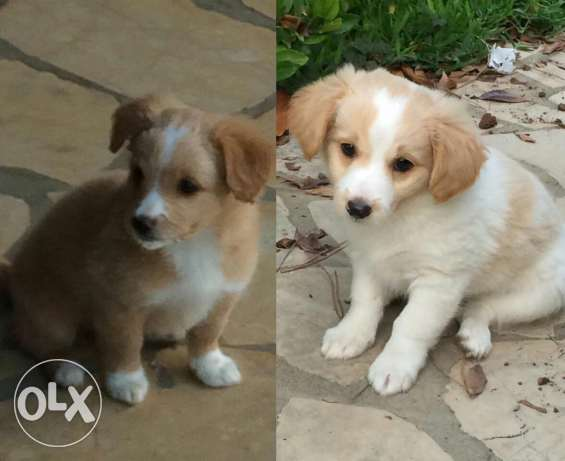 Puppies for sale chaher wnoss 3omron البترون -  1