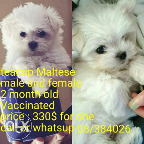 puppies 2 month old vaccinated