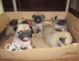 Imported pug puppies.