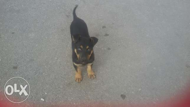 Rotweiller Female For Sale