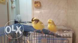 Yellow canary couple
