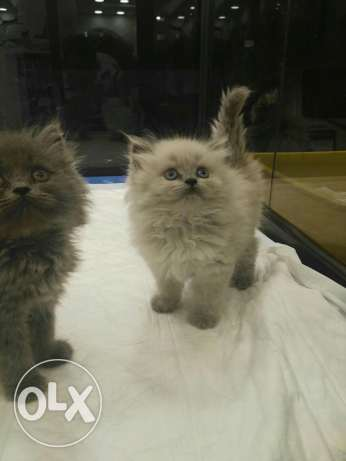 Wonderful Himalayan kitten for sale