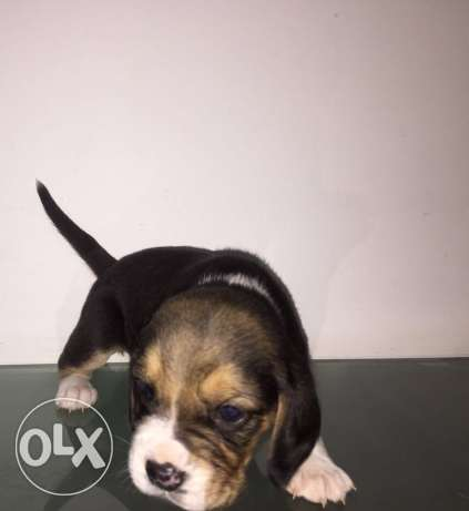 100% pure bread 2 months old female beagle