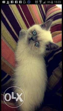 Persian cute cat for sale