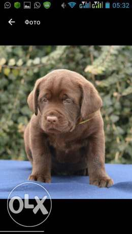 labrador best breed for only 600$