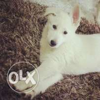 Male Puppy for sale - Berger Suisse - Swiss Shepherd