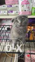 Male and female scottish fold for sale