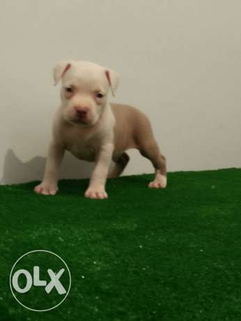 imported xxl red nose pitbull puppies