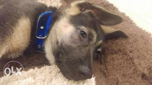 German shepherd 2.5 mnth vaccinated for sale
