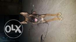 Dog  for sale Malinois
