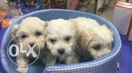 House dogs bichon puppies maltese