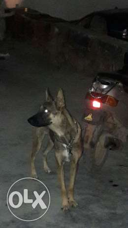 Dutch shepherd/ malinois for sale or trade غبيري -  2