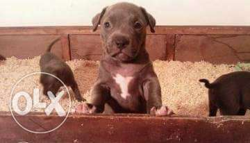 Imported pitbull blue puppy XXL arrived