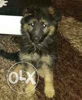 female berger allemand