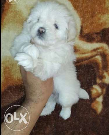 Imported bichon puppies for sale