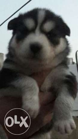 husky siberain 2 month long hair blue syes