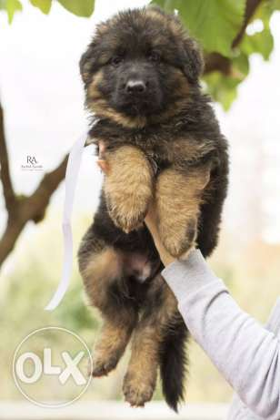Top longhaired german shepherd for sale from multi-champion كسروان -  6