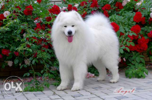 Samoyed puppy مراح كيوان -  7