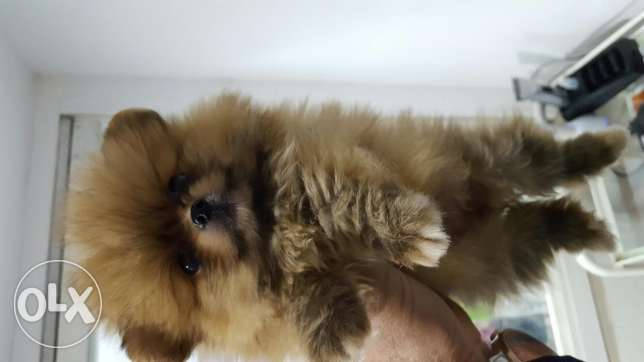 Tiny size teacup pomeranian
