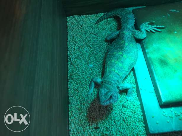 uromastix pet lizard
