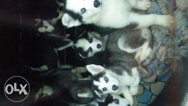Seven three months old dogs for sale, well fed, vaccinated and overall healthy well-being. Good origins Female mother: Swiss shephard ,Male father: Alaskan malamute.