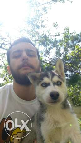 Male pure husky puppy