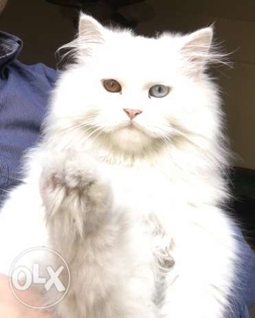 Turkish Angora Cat (odd eyes) فرن الشباك -  1