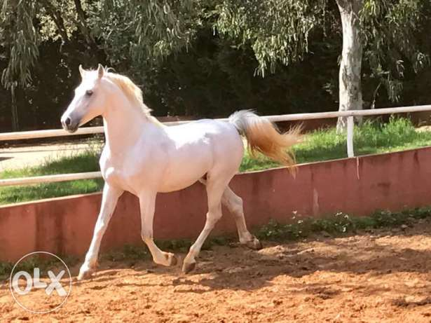 Trained horse