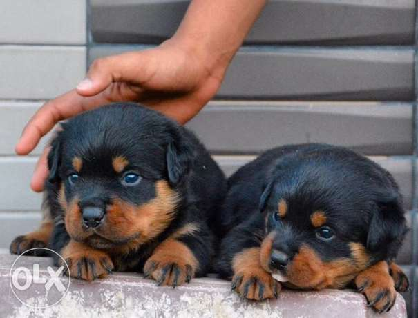 best rottweiler ever for onlyyy 450$ super breed