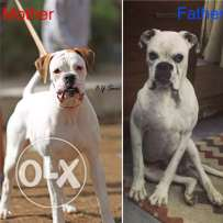 imported boxer puppies