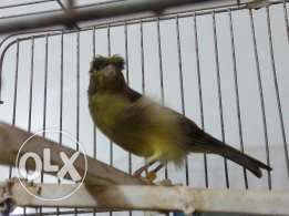Best Green Canary