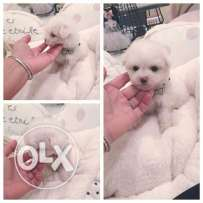 Teacup Bichon Frise Puppie small size dog Weight : 400g