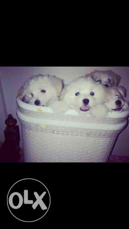 imported bichon puppies for sale.