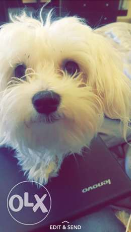 A dog for Sale (Maltese-Pichon)