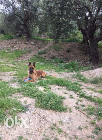 4 sale pure malinois bs3r ktir 7elo
