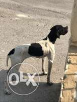 female pointer for sale