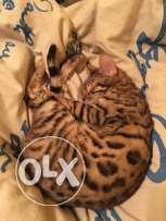 Need a Male Bengal for Mating