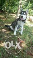 Husky for sale with all his items