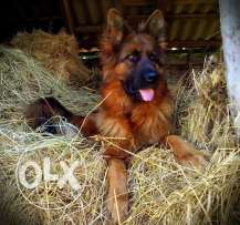 german shaperd for sale best breed
